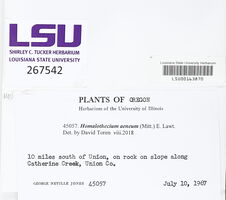 Homalothecium aeneum image