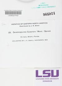Ceratolejeunea cubensis image