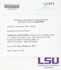 Straminergon stramineum image