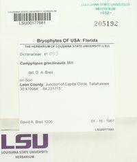 Campylopus surinamensis image