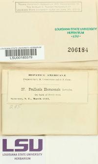 Frullania eboracensis image