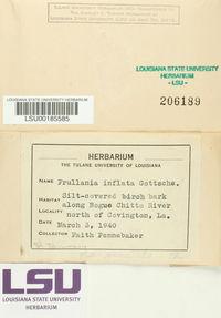 Frullania inflata image