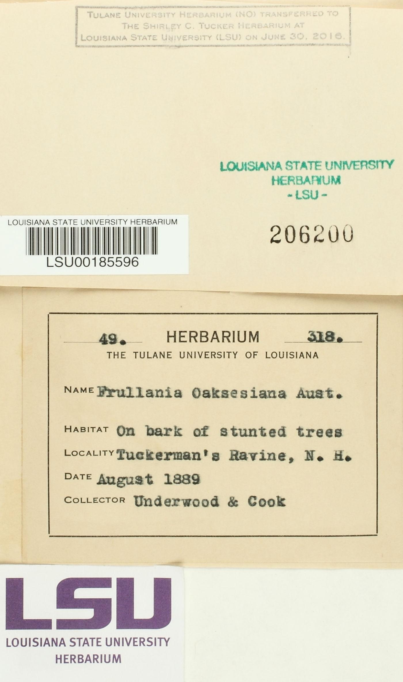 Frullania oakesiana image