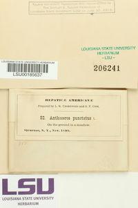 Anthoceros punctatus image