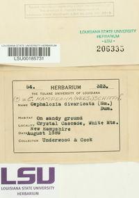 Cephaloziella hampeana image