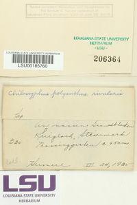 Chiloscyphus polyanthos image