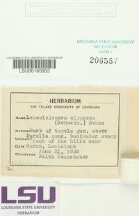 Cheilolejeunea clypeata image