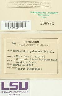 Marchantia paleacea image