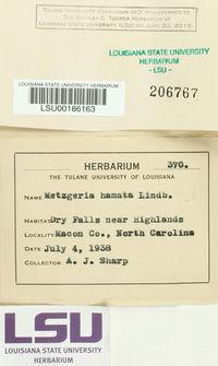 Metzgeria leptoneura image