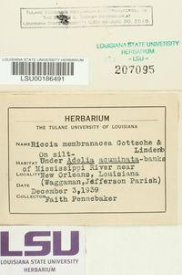 Riccia membranacea image