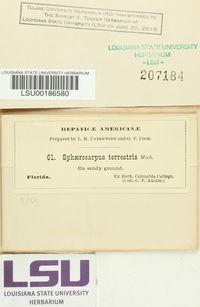 Sphaerocarpos texanus image