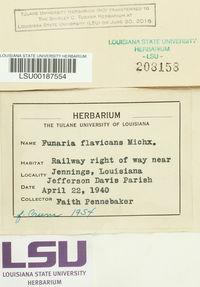 Funaria flavicans image
