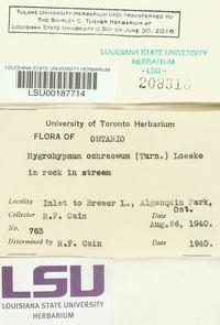 Hygrohypnum ochraceum image