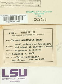 Leskea australis image