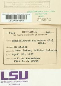 Rhacomitrium aciculare image