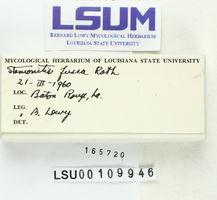 Stemonitis fusca image