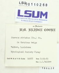 Stereum striatum image