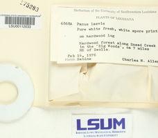 Lentinus levis image