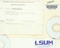 Microporellus obovatus image