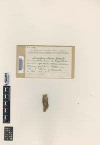 Image of Cerinomyces altaicus
