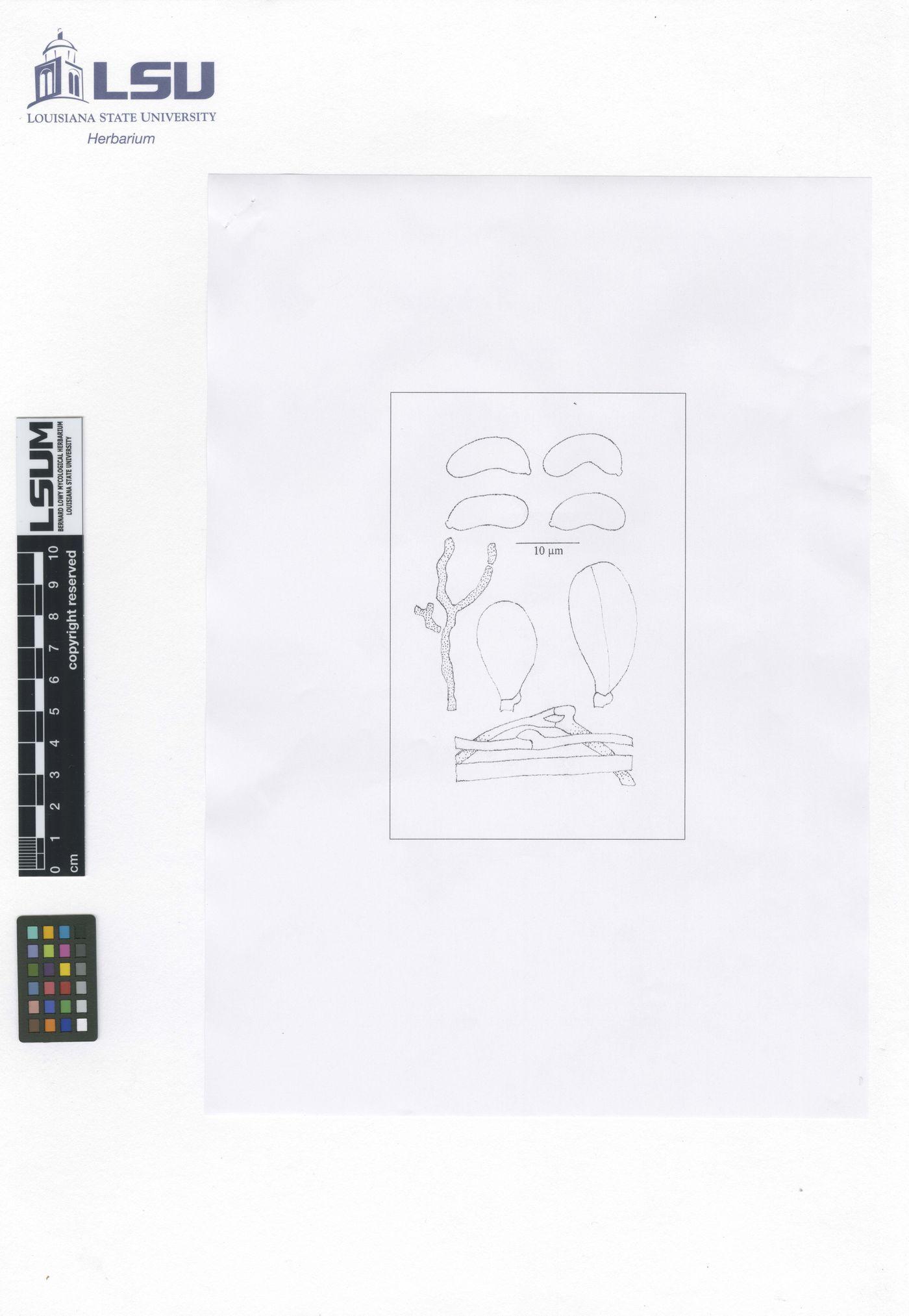 Exidia maya image