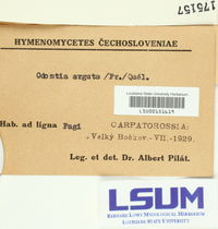 Hyphodontia arguta image