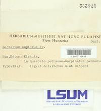 Lactarius aspideus image