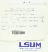 Laurilia sulcata image