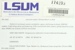 Leccinum pseudoscabrum image