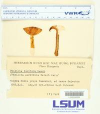 Pholiota lucifera image