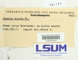 Russula aurata image