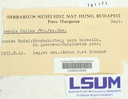 Russula fallax image
