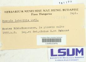 Russula lateritia image