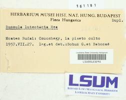 Russula luteotacta image