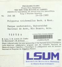 Trichaptum trichomallum image