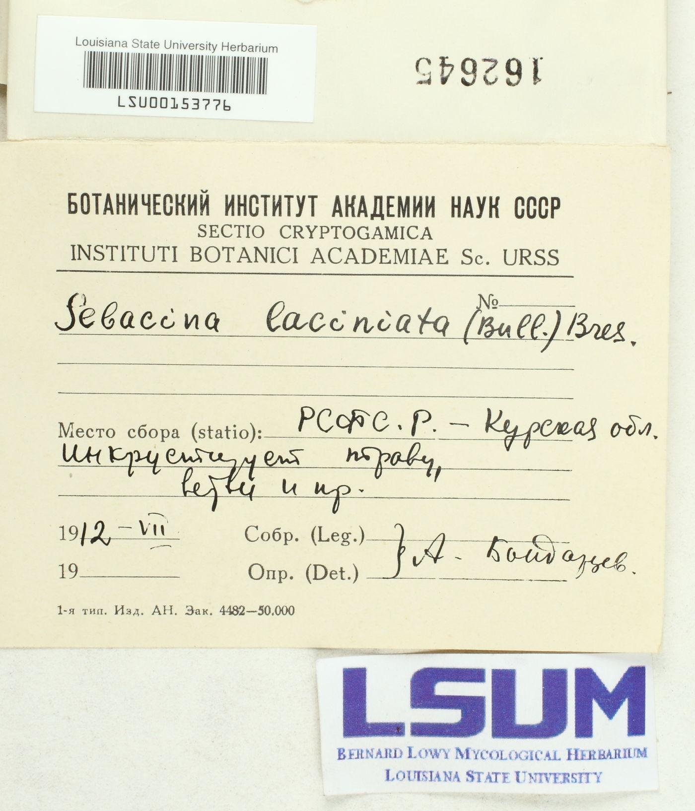 Sebacina laciniata image