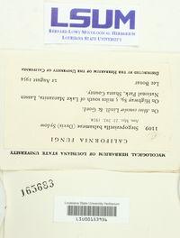 Sarcotrochila balsameae image