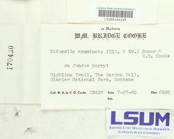Bifusella acuminata image