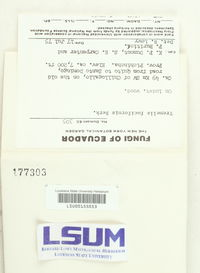 Tremella fuciformis image