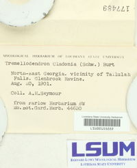 Tremellodendron cladonia image