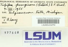 Lycoperdon ferruginosum image