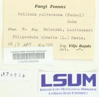 Mollisia pulveracea image