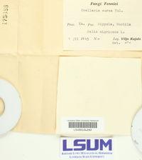 Pezicula ocellata image
