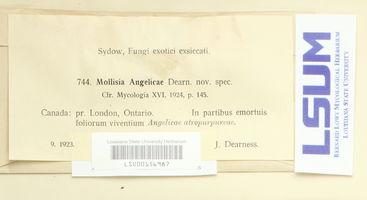 Mollisia angelicae image