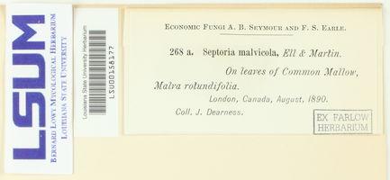 Septoria malvicola image