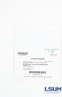 Entoloma hirtipes image