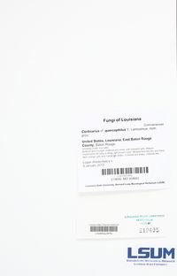 Image of Cortinarius quercophilus
