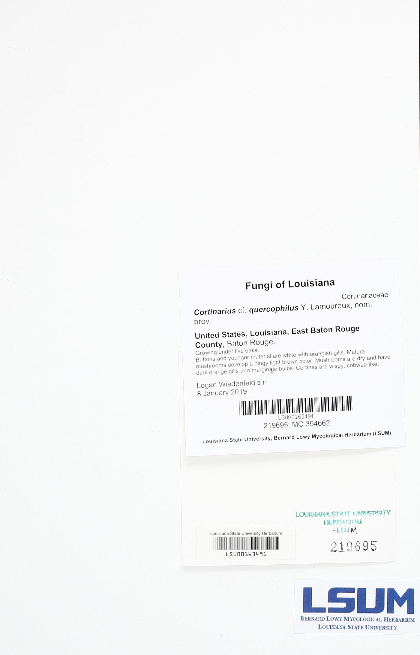 Cortinarius quercophilus image
