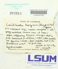 Lentinula boryana image