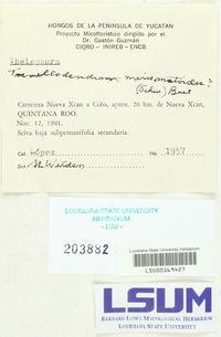 Tremellodendron merismatoides image